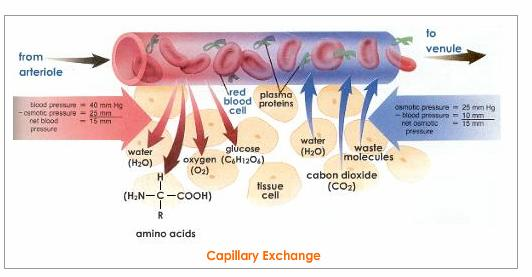 lung capillaries   Johnny Dissidence
