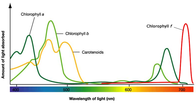 effect of various wavelengths of light on photosynthesis Effect of different shades of light while plants take in all colors and wavelengths of light, some colors affect journal of introductory biology investigations.