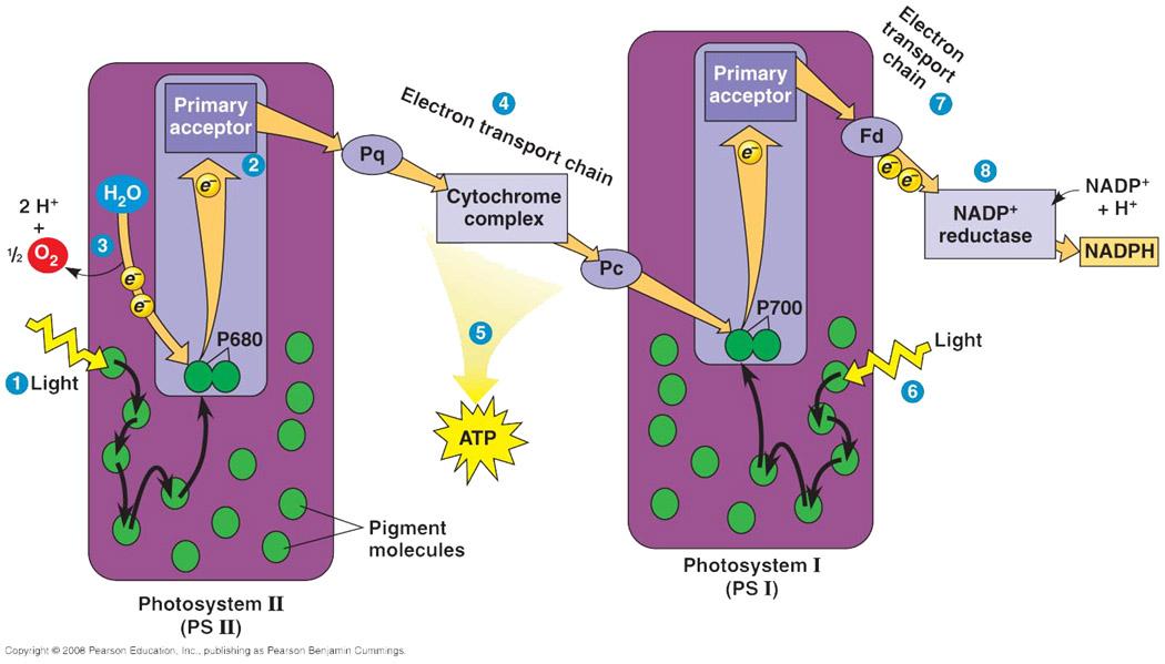 Cellular respiration vs photosynthesis